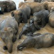 Elephants in dirty water - Stock Photo