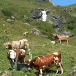 Swiss cows in the alps — Stock Photo
