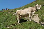 在阿尔卑斯山的瑞士牛 — 图库照片
