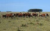 Cows on farmland in rural areas of Uruguay — Stock Photo