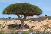 Árvores de sangue de dragão na ilha de Socotorá — Fotografia Stock