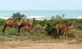 Dromedary family on the island of Socotra, Yemen — Stock Photo