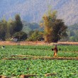 Tobacco field at the village of Ban Kong Lo in Laos - Stock Photo