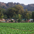 Tobacco field at the village of Ban Kong Lo in Laos — Stock Photo