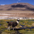Llamas on grassy Bolivian altiplano with Andean volcanoes behind — Stock Photo