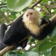 White-faced capuchin monkey on coconut tree, national park of Cahuita, Caribbean, Costa Rica — 图库照片