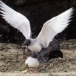 Swallow-tailed gull, Galapagos endemic and the world's only nocturnal seagull — Stock Photo