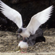 Swallow-tailed gull, Galapagos endemic and the world&#039;s only nocturnal seagull - Stock Photo