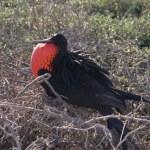 Male, North Seymour Island breeding colony, Galapagos — Stock Photo
