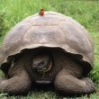 Galapagos giant tortoise is the largest living species — Stock Photo