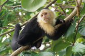 White-faced capuchin monkey on coconut tree, national park of Cahuita, Caribbean, Costa Rica — Stock Photo