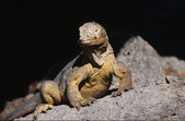 Portrait of young rhinocerus iguanas — Stock Photo