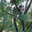 A ring-tailed lemur is sitting on a tree trunk — 图库照片