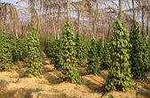 Pepper Garden on Phu Quoc Island - Vietnam — Stock Photo