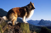 Collie standing at the lugano, Gulf of Luga — Stock Photo