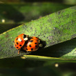 Ladybugs on a leaf pairing — Stock Photo