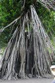 Big old tree — Stock Photo