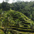 Rice field in Bali, Indonesia — Stock Photo