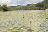 Aquatic flowers on river Dulce — Stock Photo