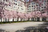 Peach tree in bloom — Stock Photo