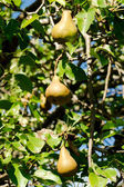 Three ripe pears on tree — Stock Photo