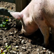 Pig snout digging in mud — Stock Photo