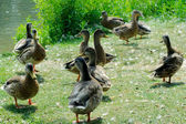 Group of ducks on grass — Stock Photo