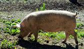 Pig walking on muddy ground — Stock Photo