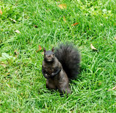 Black squirrel looking into camera — Stock Photo