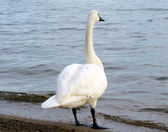 Swan looking out over lake — Stock Photo