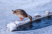 Female mallard duck drinking water on ice. — Stockfoto