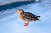 Female mallard duck standing on ice. — Foto Stock
