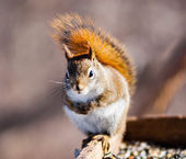 Single red squirrel looking into camera. — Stock Photo