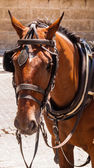 Brown horse with blinders and harness. — Stock Photo