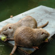 Nutria - Stock Photo