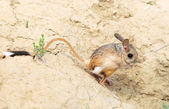Great Jerboa, Allactaga major — Stock Photo