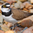 Small bird Little Ringed Plover - Stock Photo