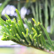 Pine tree — Stock Photo #25363051