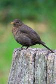 Blackbird — 图库照片