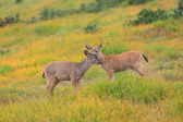 Deer in the mountains — Stock Photo