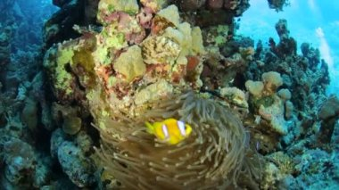 Red Sea life under water — Stock Video