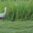 White stork — Stock Video #25679767