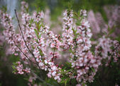 Pink blossom at summer — Stock Photo