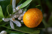 Mandarins branch — Stock Photo