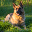 Germshepherd on green grass — Stock Photo #35717383