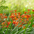 Stock Photo: CrocosmiOrange Flower