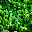 Green clover trefoil texture background — 图库照片