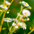 Daisy flower close up background — Stock Photo