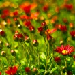 Red flowers field background — Stock Photo