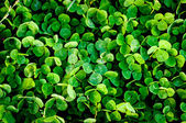 Green clover trefoil texture background — Stock Photo